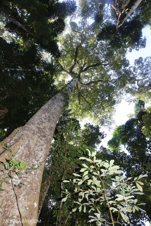 Look up the trunk of a rainforest tree