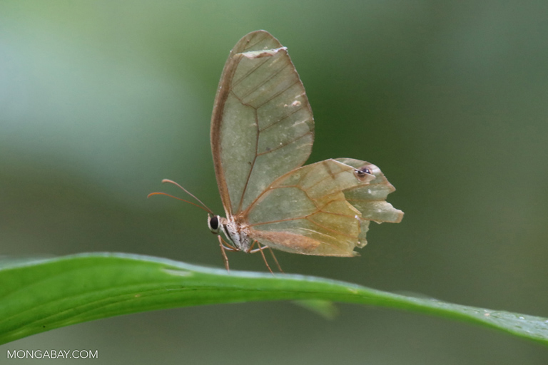 Transparent wing butterfly
