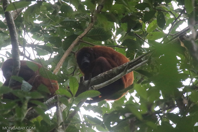 Red howler monkeys