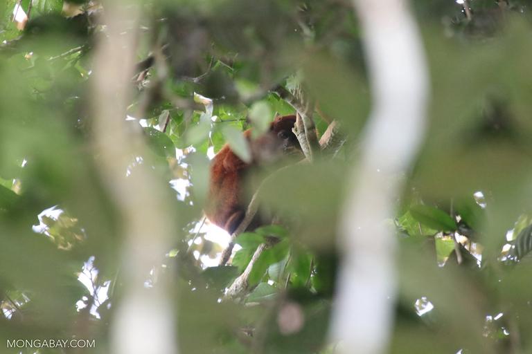 Red howler monkey