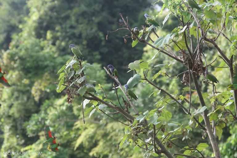 Blue-headed Amazon (Pionus menstruus)