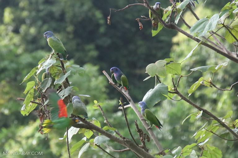 Blue-headed Pionus (Pionus menstruus)