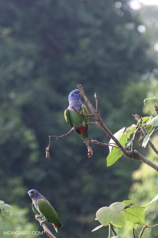Blue-headed Amazon