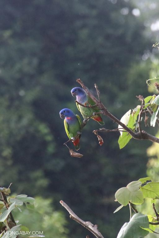 Blue-headed Pionus