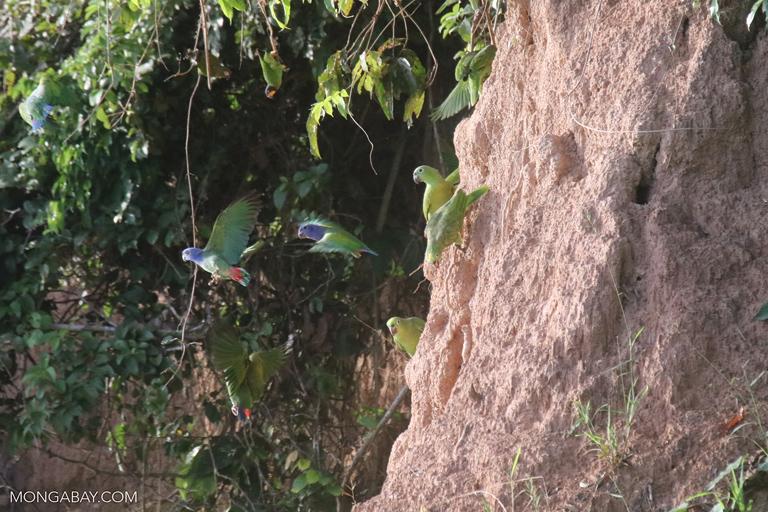 Parrots feeding on clay