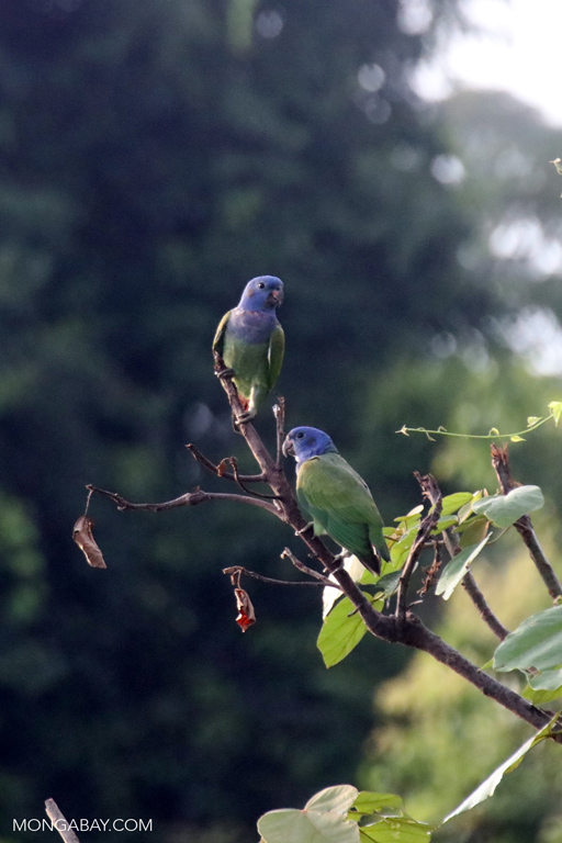 Blue-headed Amazon