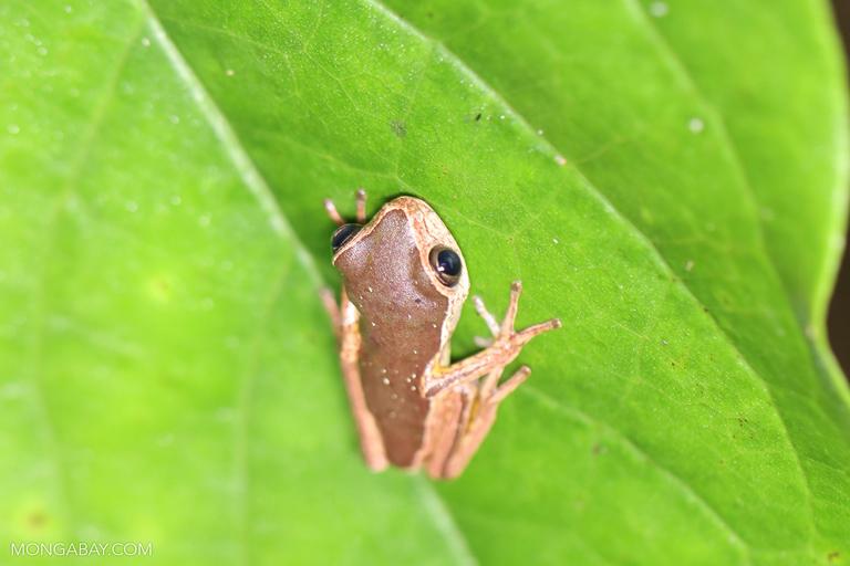 Juvenile jaguar leaf frog (Phyllomedusa palliata)