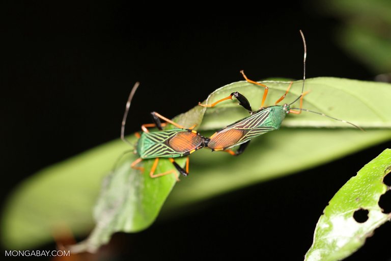 Colorful shield bugs mating