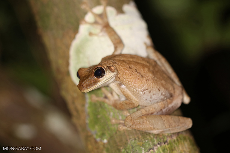 Common Laughing Frog (Osteocephalus taurinus)