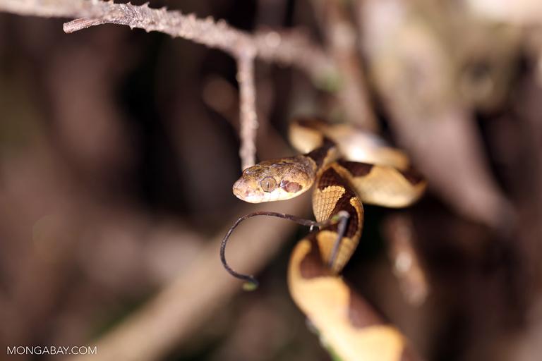 Dipsas snail-eater snake