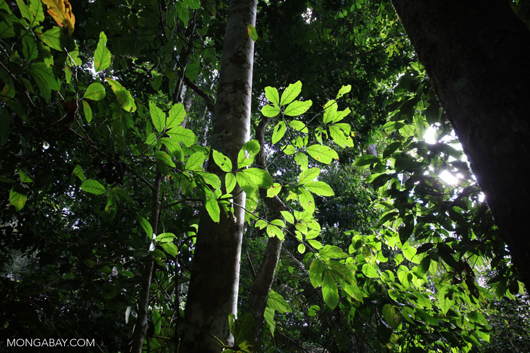 Amazon rainforest understory