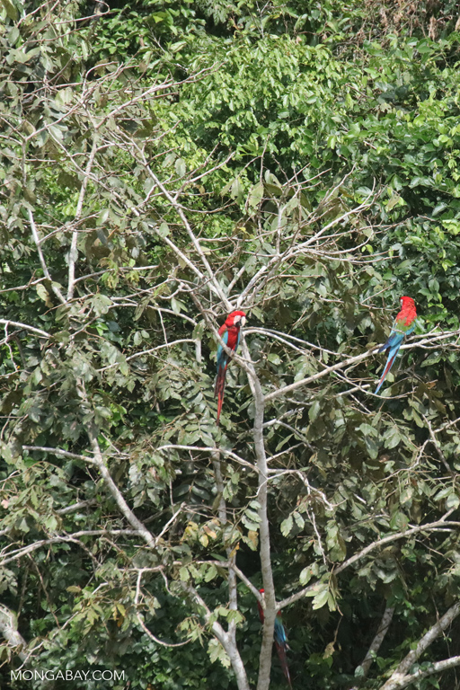 Macaws in the rainforest canopy