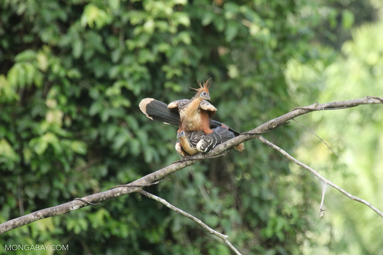 Hoatzins mating