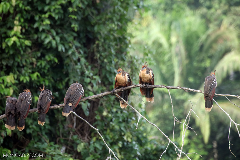 Hoatzins sitting on a branch