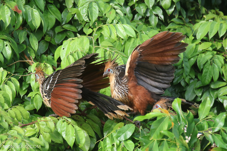 Stink birds in the Amazon