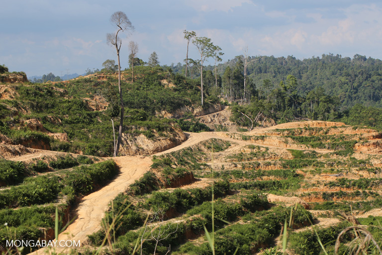 An oil palm plantation in Sarawak in 2015. This concession belongs to Sarawak Oil Palms Bhd, not Jaya Tiasa Holdings Bhd. Photo by Rhett A. Butler.
