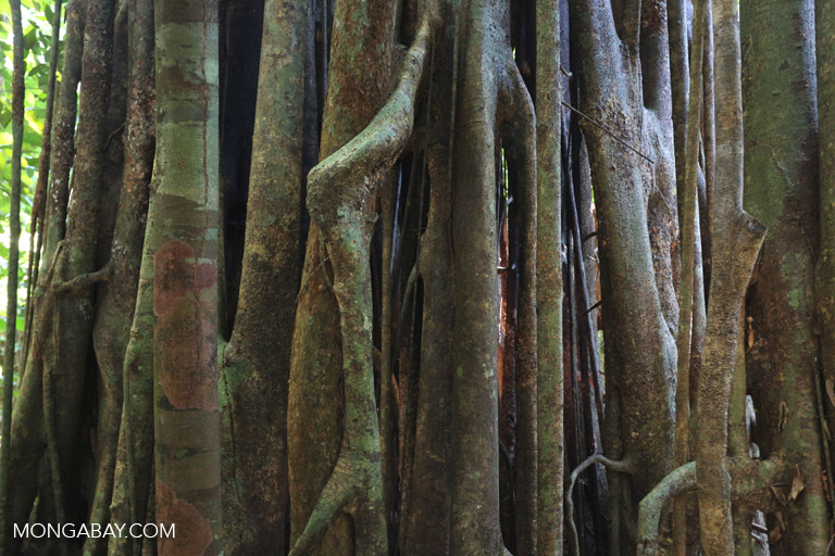 Roots of a strangler fig