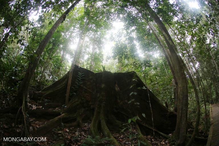 Felled rainforest tree