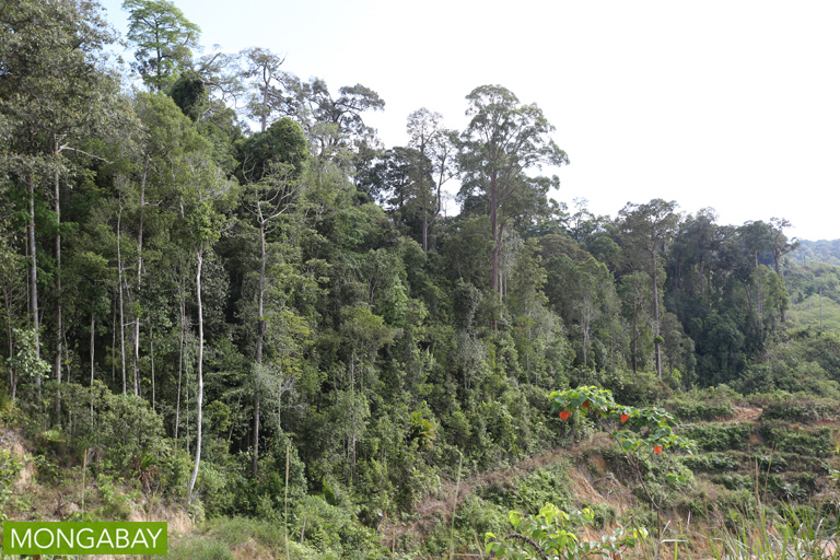 Forest edge next to an oil palm plantation