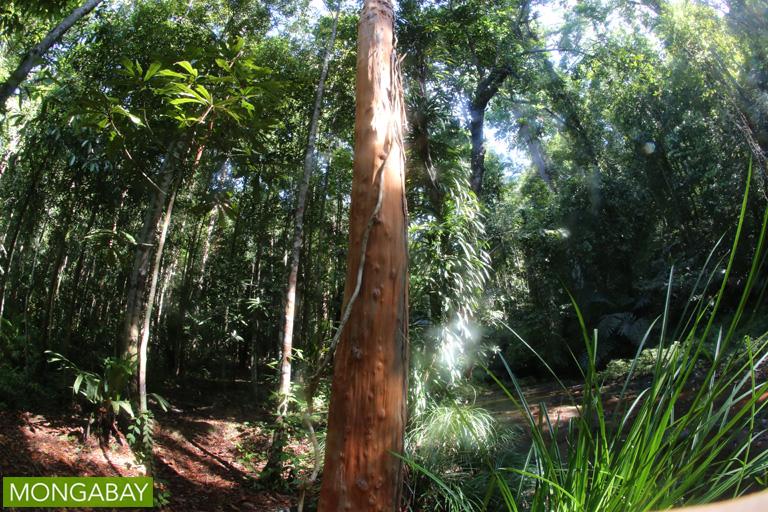 Selunsur (Tristaniopsis oborata)