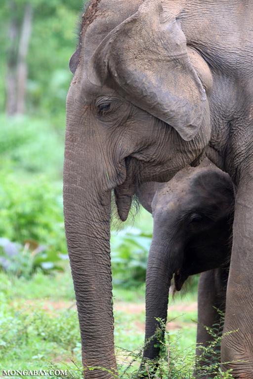 Sri Lankan elephant with calf