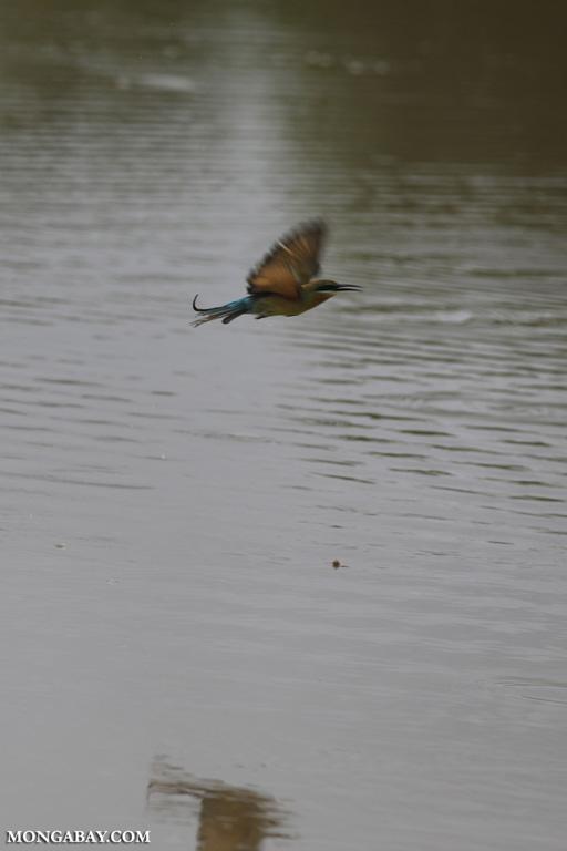 Green bee-eater in flight