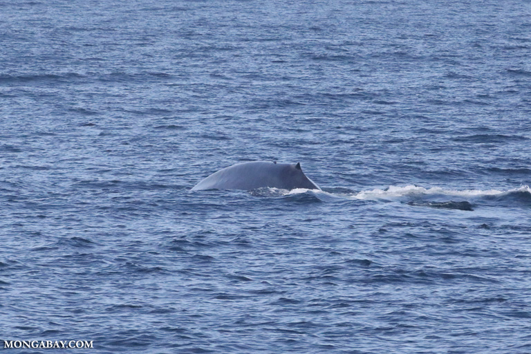 Blue whale off Sri Lanka