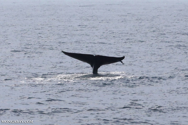 Blue whale with a remora on its tail