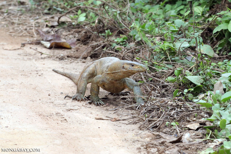 Monitor lizard in Sri Lanka