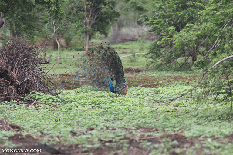 Peacock displaying for a peahen