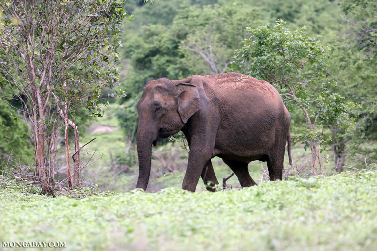 Elephant in Udawalawe