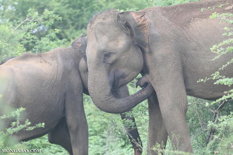 Sri Lankan elephants