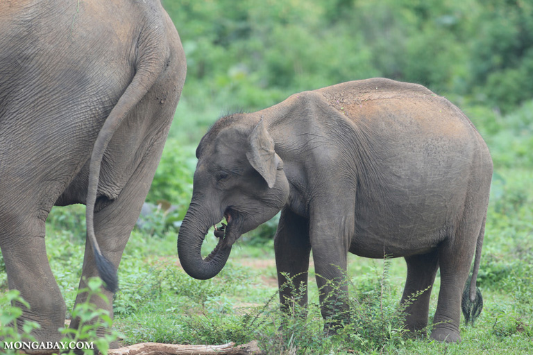 Mother elephant with calf in Sri Lanka