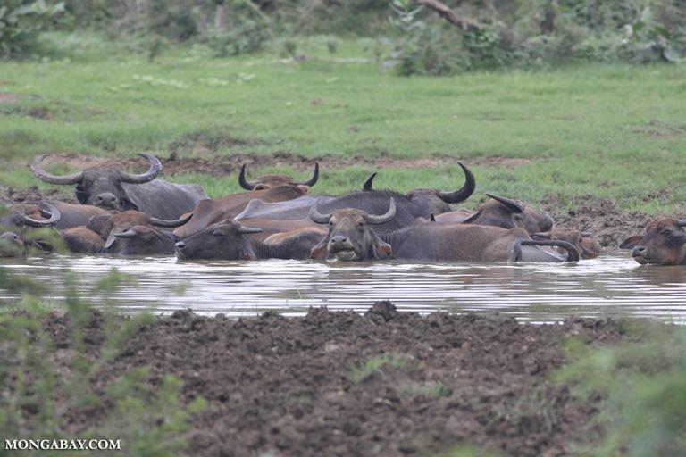 Wallowing water buffalo in Sri Lanka