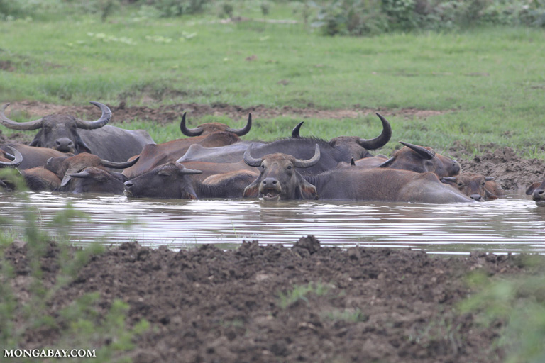 Wallowing water buffalo in Sri Lanka
