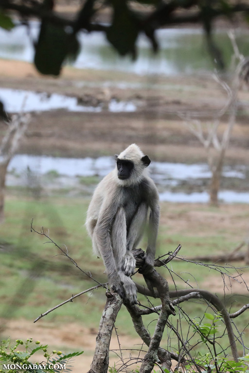Gray langur (Semnopithecus entellus)