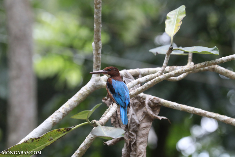 White-throated kingfisher (Halcyon smyrnensis)