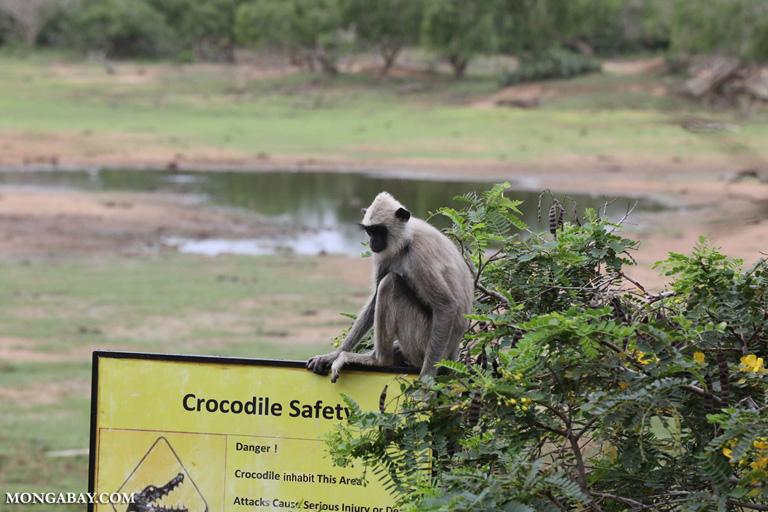 Gray langur atop a crocodile warning sign