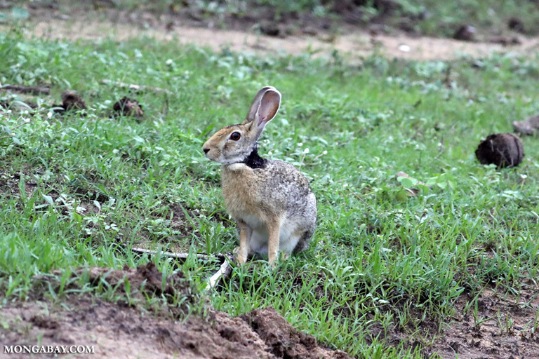 Indian Hare (Lepus nigricollis)