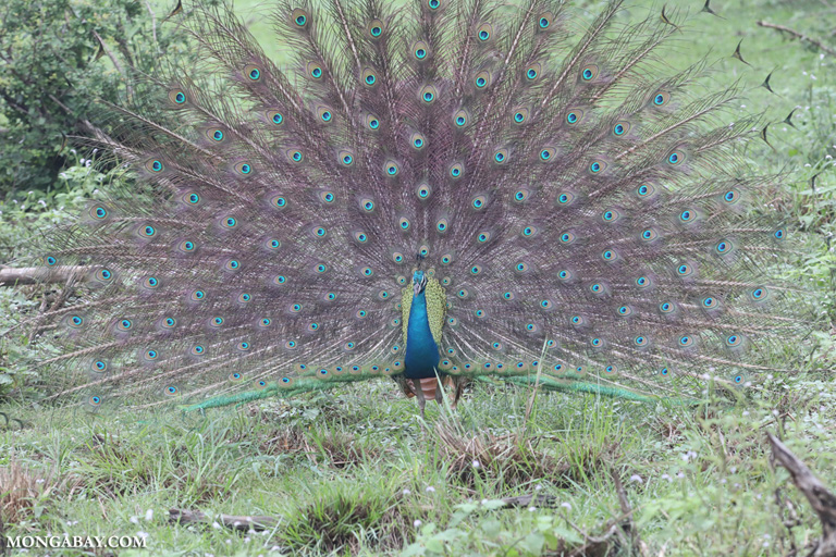 Peacock showing off to a peahen