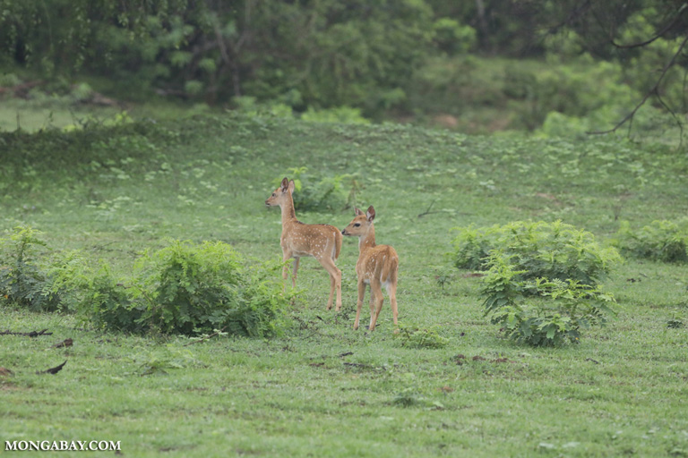 Herd of spotted deer
