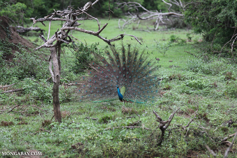 Peacock displaying to a peahen