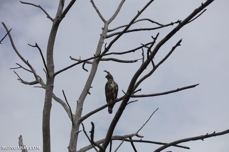 Crested hawk-eagle (Nisaetus cirrhatus)