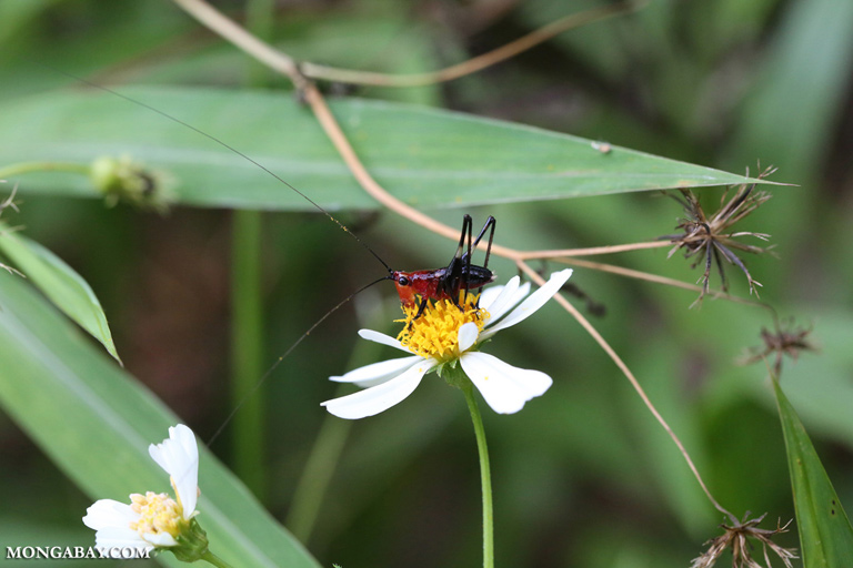Red and black katydid