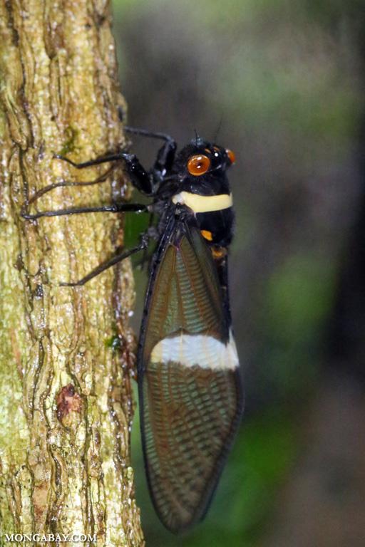 Orange-eyed cicada
