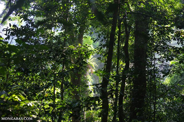 Birdnest ferns in Vietnam's rainforest