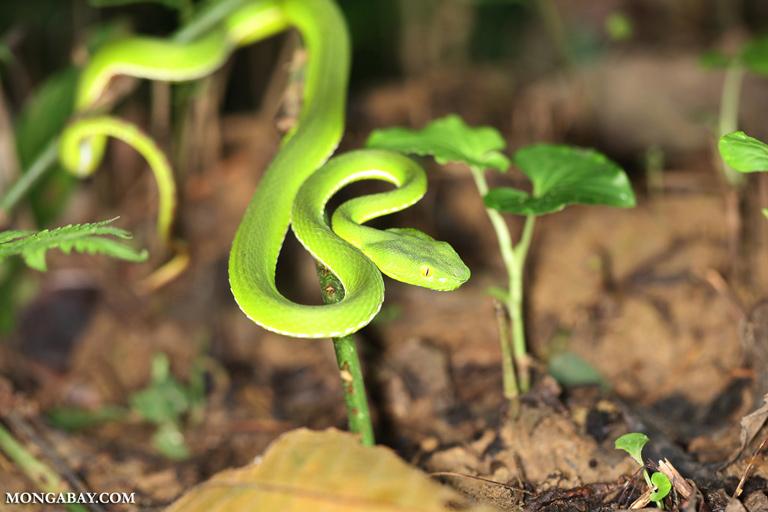 Cryptelytrops albolabris green viper