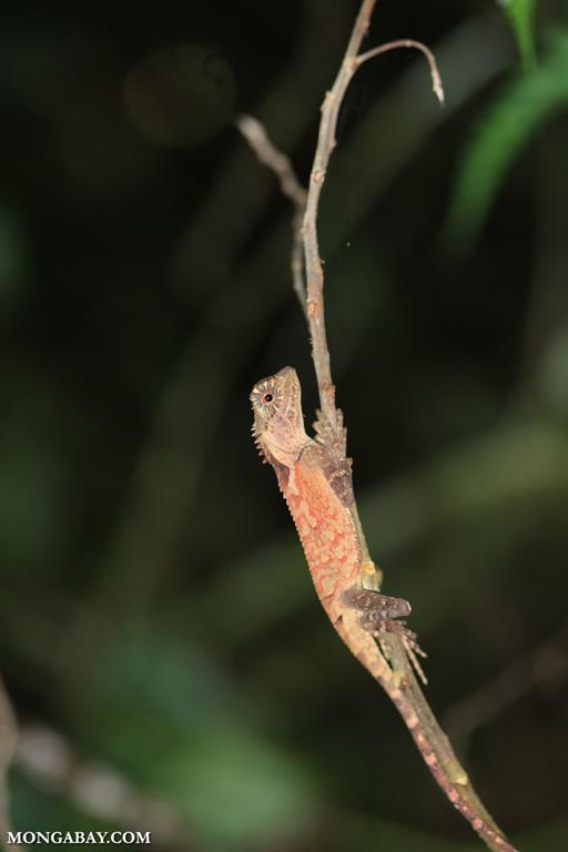 Orange forest dragon