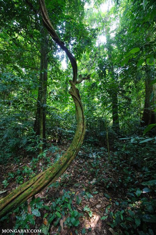 Giant liana in Vietnam