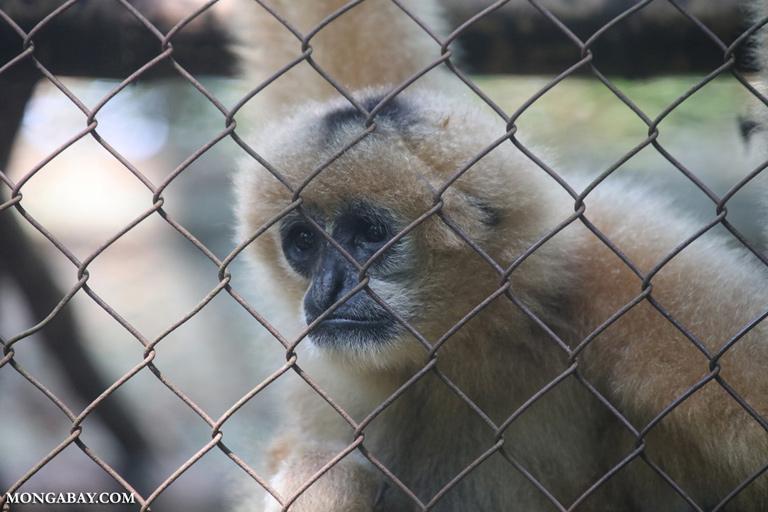 Captive gibbon in Vietnam